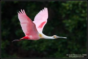 Flying Pink by juddpatterson
