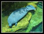 West Indian Manatee by caybeach
