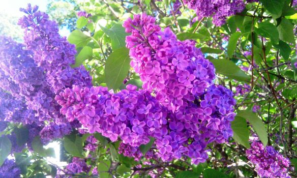 Lilac by birographic