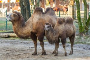 Camel by Fotostyle-Schindler