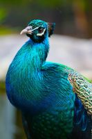 Peacock Colours by cobaltsennheiser