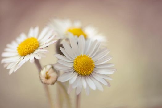 Daisies by SarahharaS1