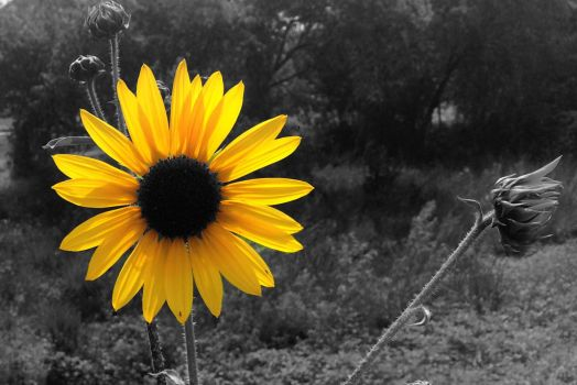 Sunflower by MoozieBerry