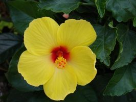 Hibiscus2 by cazcastalla