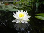 Water Lily by SinissterKid