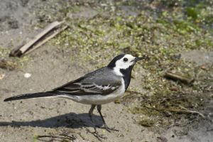 Wagtail by An-Drake