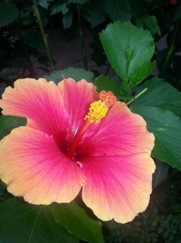 Hibiscus blossom by james-ivan
