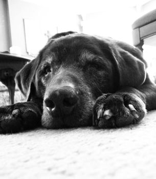 Duke at Rest by Sabretooth