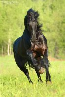 Power of the Friesian horse by Vikarus
