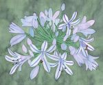 African Lily by MiriamArnott
