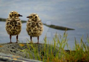 Young Seagulls by Uerskolt