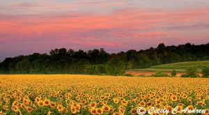 Sunflowers At Dawn by CecilyAndreuArtwork