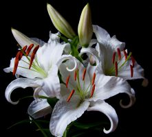 White Lily Stock V by Avestra-Stock